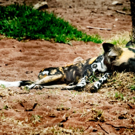 Let Sleeping Dogs Lie - An African Wild Dog has a siesta.