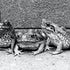 3 Cane Toads - Each archival photograph is stamped and signed by Robert and a brief description of how it was taken.