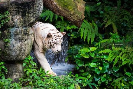 13 - White tiger