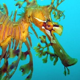 Leafy sea dragon canvas for sale