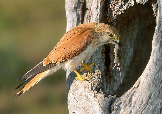 2) Australian kestrel with mouse - The Australian kestrel with mouse at nest hollow - Wellington NSW
