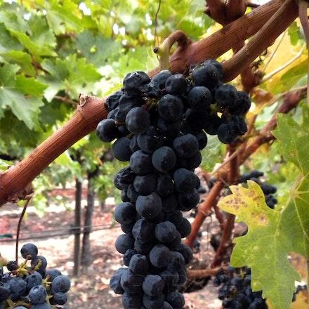 Del Dotto Grapes
