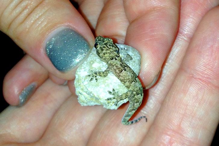 baby gekko
