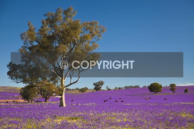 A purple Curse