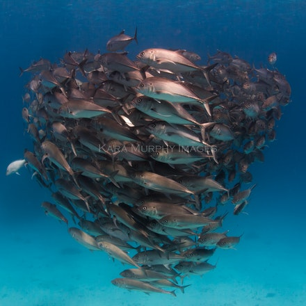 School of trevally - A small school of trevally swims off Lady Elliot Island, Queensland.