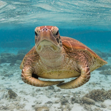 Turtle yoga - A sea turtle performs its own special version of ocean yoga, Lady Elliot Island, Australia.