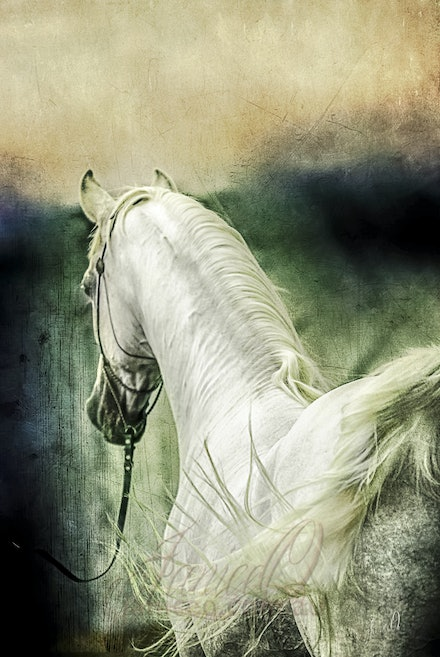 New Year Sharp - Purebred Arabian white stallion, Silver Wind Van Nina. Digital painting based on a photo by Sharon Meyers Photography.