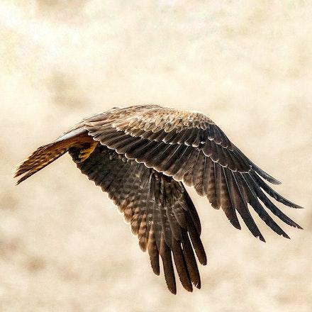Black Kite, Milvus migrans - Black Kite, Milvus migrans