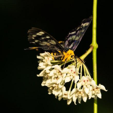 Hoya sp .  Four o'clock moth. - Hoya sp.