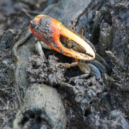 Fiddler Crab  Uca coarctata - Male Fiddler Crab  Uca coarctata