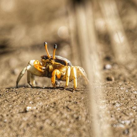 Fiddler Crab  Uca coarctata - Female Fiddler Crab  Uca coarctata
