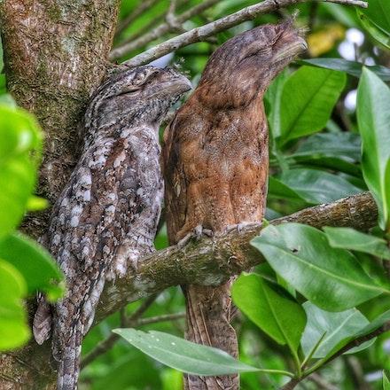 Papuan Frogmouth, Podargus papuensis - Papuan Frogmouth, Podargus papuensis, birds of the wet tropics