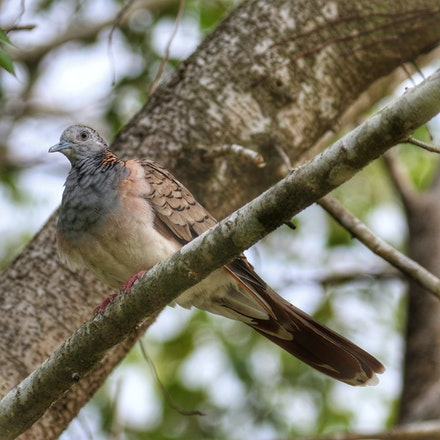 Bar-shouldered dove, Geopelia humeralis - (press for more images) Bar-shouldered dove, Geopelia humeralis