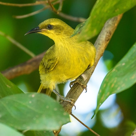 Yellow Honeyeater, Lichenostomus flavus - Yellow Honeyeater, Lichenostomus flavus, this honeyeater I don't usually see but it visited probably from a nearby...