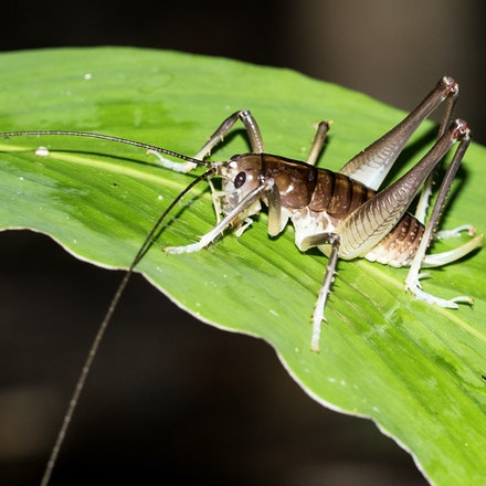 King cricket, Penalva so - King cricket, Penalva so , insects, crickets, wet tropics, Daintree