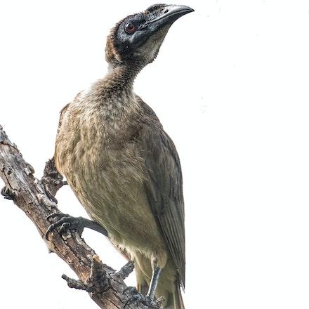 Hornbill Friarbird, Philemon yorki · - (press for more images)