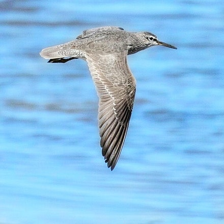 Grey tailed Tattler,  Tringa brevipes - Grey tailed Tattler,  Tringa brevipes
